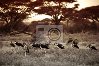 The Marabou Stork