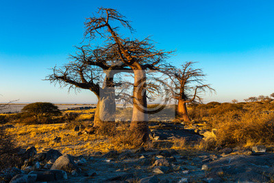 Three baobab trees in early morning light