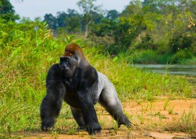 Tiefland-Gorillas in freier Wildbahn. Republik Kongo. Eine ausgezeichnete Illustration.