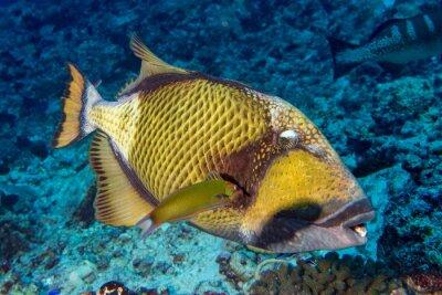 Poster Titan Trigger Fisch in Malediven