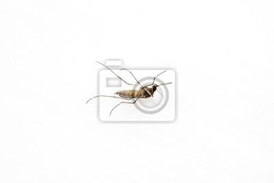 tote Mücke auf weißem Hintergrund