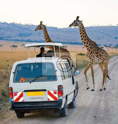 Tourists in the car watching the giraffes in Kenya. National Park Masai Mara. Africa. Kenya. Tanzania. East Africa.