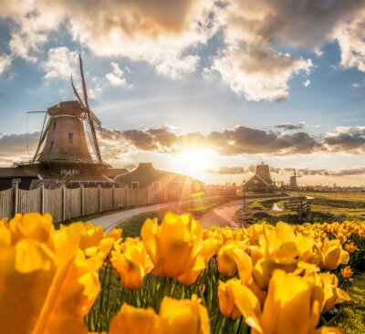 Poster Traditional Dutch windmills with tulips against sunset in Zaanse Schans, Amsterdam area, Holland