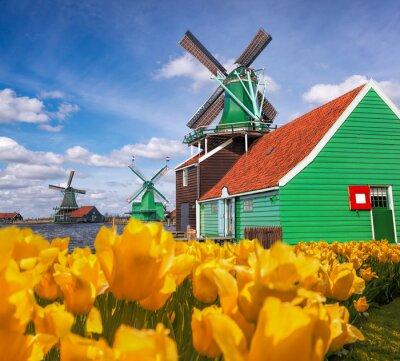 Traditionelle niederländische Windmühlen mit Tulpen in Zaanse Schans, Amsterdam-Bereich, Holland