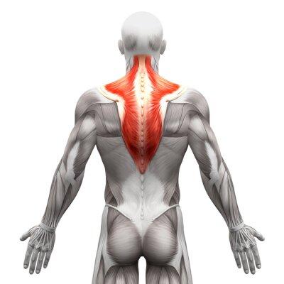 Trapezius muskel - anatomie muskeln isoliert auf weiß wandposter ...