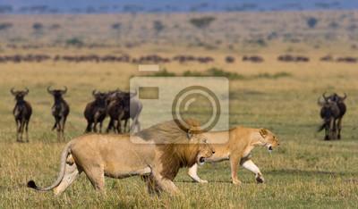 Treffen des Löwen und der Löwin in der Savanne. Nationalpark. Kenia. Tansania. Masai Mara. Serengeti Eine ausgezeichnete Illustration.