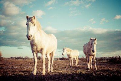 Poster Trois chevaux blancs camarguais weinlese