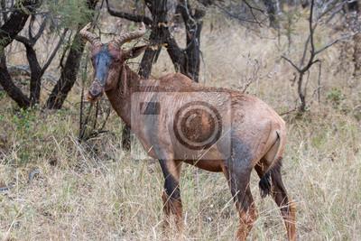 Tsessebe in Marakele NP, Südafrika