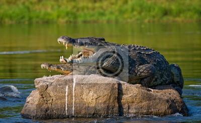 Two crocodile on the stone. Uganda.