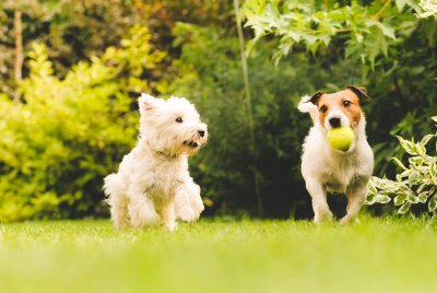 Poster Two dogs playing with a ball.