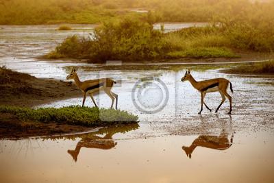 Two Impala at waterhole in Amboseli