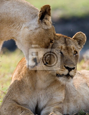 Two lionesses rub against each other. Zambia.