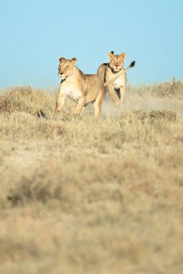 two lionesses running