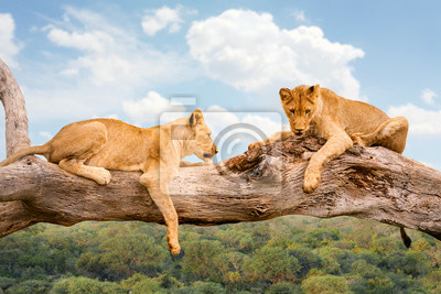 Two lions resting on tree trunk in savana.