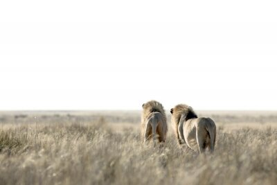 Two male lions on patrol
