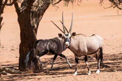 Two oryx's in the shade of camelthorn trees