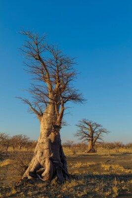 Two young baobab trees on Kukonje Island