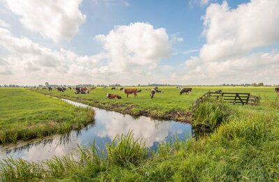 Poster Typical Dutch polder landscape with grazing cows in the meadow and clouds reflected in the mirror smooth water surface of the ditch. The photo was taken near the village of Langerak, South Holland.