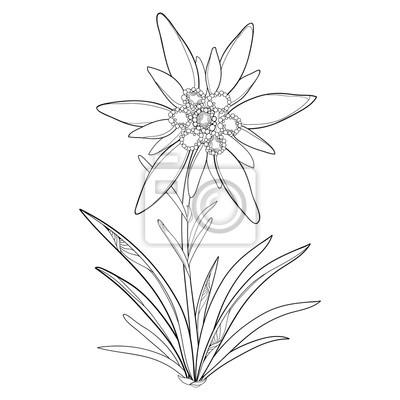Vektor-umrisse edelweiss oder leontopodium alpinum. blume und ...