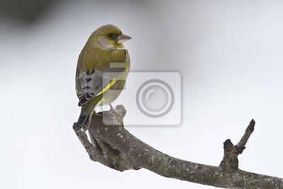 Verdier Oiseau d'Europe en hiver mâle
