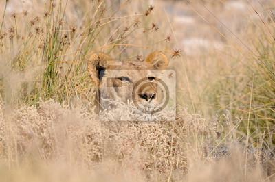 Verstecken Löwen