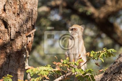 Vervet-Affe, der hoch oben im Baumprofil sitzt