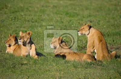 Vier Löwin auf afrikanische Savanne
