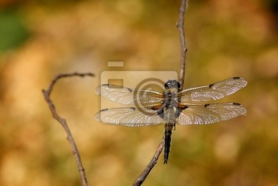 Vier Spotted Chaser Dragonfly