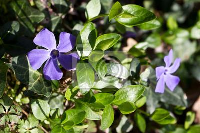 Violette Blüten der Pflanze Vinca minor.