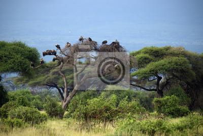 Vulture in Amboseli