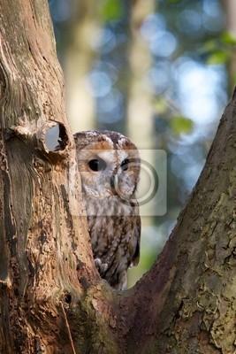 Waldkauz in einem Baum