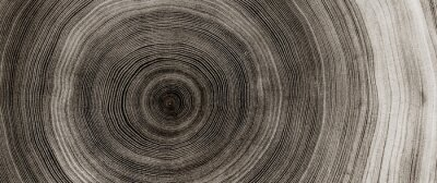 Poster Warm gray cut wood texture. Detailed black and white texture of a felled tree trunk or stump. Rough organic tree rings with close up of end grain.