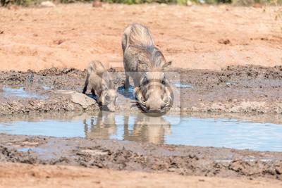 Warthog Sau und Ferkel Trinkwasser