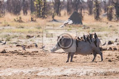 Warthog und Oxpeckers