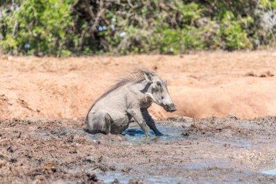 Warzenschwein sitzt im Schlamm