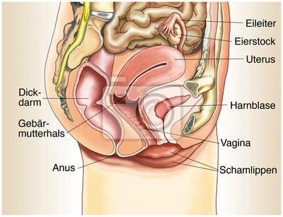 Weibliche geschlechtsorgane im querschnitt wandposter • poster ...