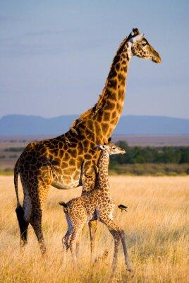 Weibliche Giraffe mit einem Baby in der Savanne. Kenia. Tansania. Ostafrika. Eine ausgezeichnete Illustration.