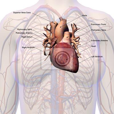 Weibliche herz-kreislauf-system beschriftet anatomie wandposter ...