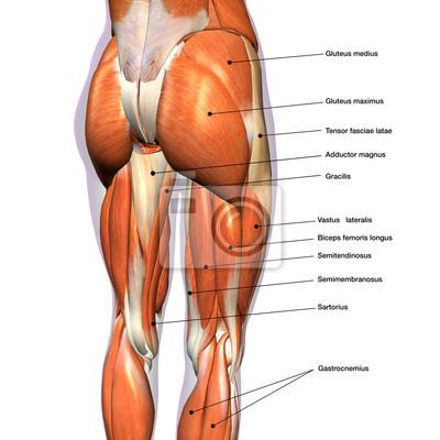Weibliche hüfte und bein-muskeln beschriftet wandposter • poster ...