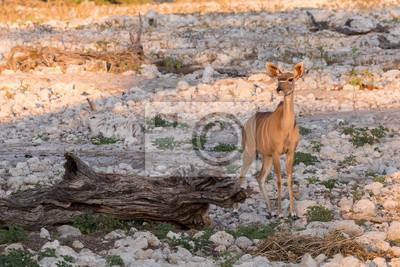 Weibliche Kudu allein am Wasserloch