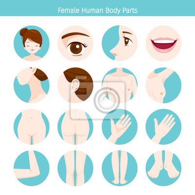 Weibliche menschliche äußere organe körper set, physiologie ...