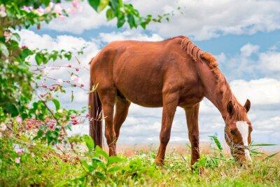 Poster Weidende braun Pferd auf der grünen Weide mit einer schönen Natur