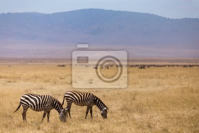 Weidende Zebras im Ngorongoro Krater in Tansania