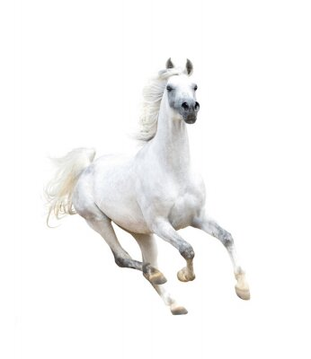 Poster Weiß arabischen Pferd isoliert auf weiß