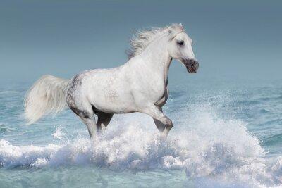 Poster Weiß arabischen Pferd laufen Galopp in Wellen im Ozean