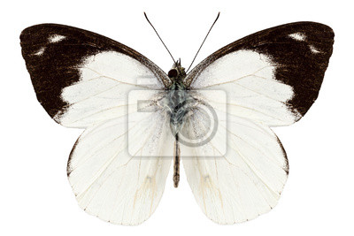 Weiß Schmetterlingsarten Apias Indra Indra