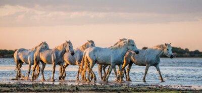 Poster Weiße Camargue Pferde stehen im Sümpfe Naturschutzgebiet. Parc Regional de Camargue. Frankreich. Provence. Eine ausgezeichnete Illustration