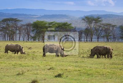 Weiße Nashörner im Nakuru-Nationalpark Kenia
