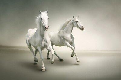 Poster Weiße Pferde
