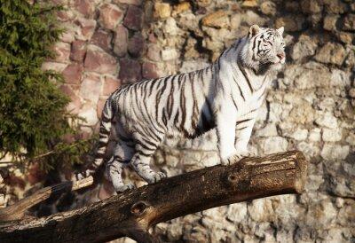 Poster Weißer Tiger
